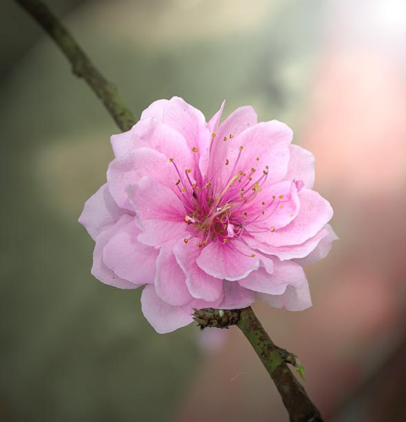 Flor de cerejeiraDof Guia Definitivo Sobre Profundidade de Campo Para Iniciantes