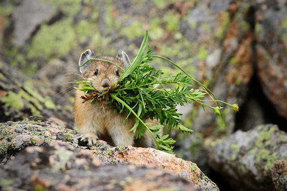 1Pika with Grass Front 960x639 A Real Importância da Resolução Fotográfica da Sua Câmera
