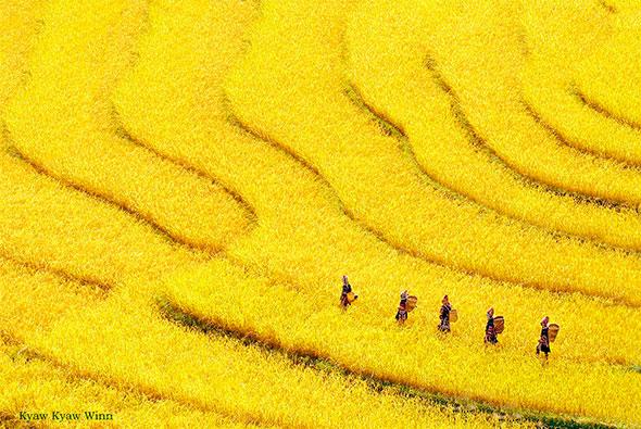 O Triângulo Dourado de Myanmar foi pouco fotografado por fotógrafos estrangeiros, mesmo possuindo impressionantes terraços de arroz e numerosos povos indígenas. As principais razões estão relacionadas ao tempo e ao esforço para conseguir os melhores resultados. Para capturar o arroz amarelo por exemplo, como nesta imagem impressionante por Kyaw Kyaw Winn, você tem talvez uma janela de três dias antes que ele seja colhido. É também uma estação de monção, assim o tempo também desempenha um papel importante para conseguir uma foto, além de um bom guia. Isso vale para chegar aos grupos tribais mais interessantes e remotos também.