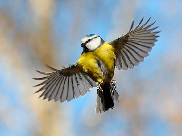 Blue Tit Dicas Para Fotografar Aves