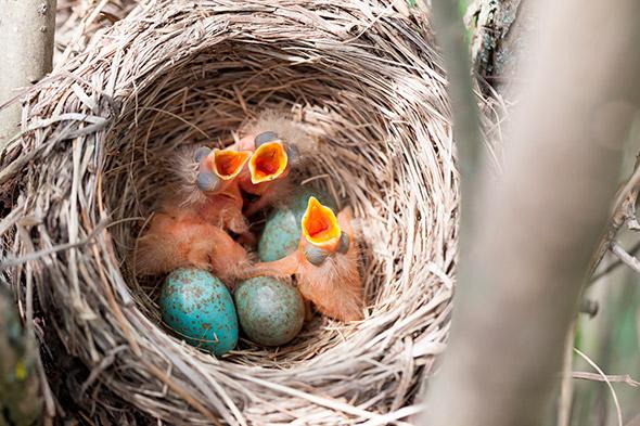 Turdus Dicas Para Fotografar Aves