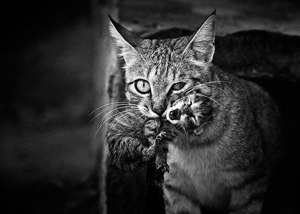 ©Doron Nissim Os Mistérios dos Gatos em Preto e Branco