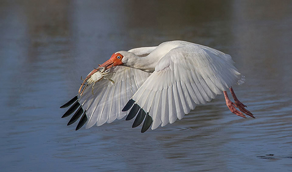 Bird in Flight 1 960x568 Como Fotografar Pássaros Voando