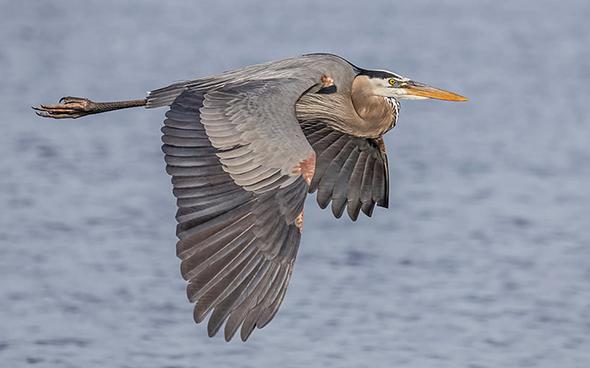 Bird in Flight 10 960x598 Como Fotografar Pássaros Voando