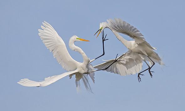Bird in Flight 11 960x579 Como Fotografar Pássaros Voando