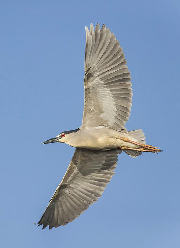 Bird in Flight 12 695x960 Como Fotografar Pássaros Voando