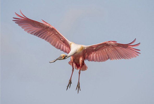 Bird in Flight 13 960x649 Como Fotografar Pássaros Voando