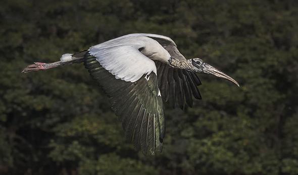 Bird in Flight 14 960x566 Como Fotografar Pássaros Voando