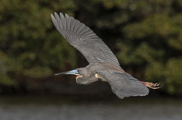 Bird in Flight 15 960x633 Como Fotografar Pássaros Voando