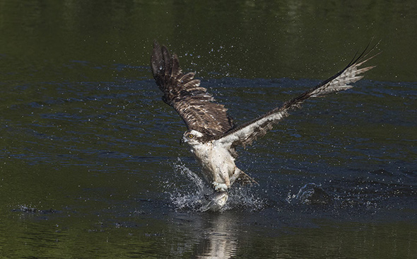 Bird in Flight 16 960x596 Como Fotografar Pássaros Voando