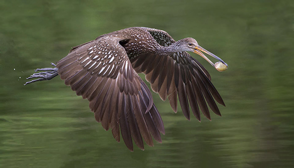 Bird in Flight 2 960x550 Como Fotografar Pássaros Voando