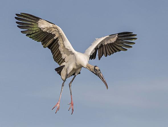 Bird in Flight 4 960x730 Como Fotografar Pássaros Voando