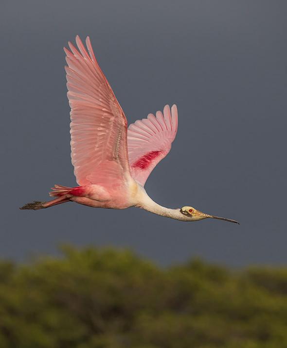 Bird in Flight 6 790x960 Como Fotografar Pássaros Voando