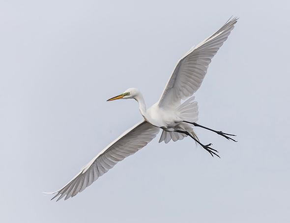 Bird in Flight 8 960x737 Como Fotografar Pássaros Voando